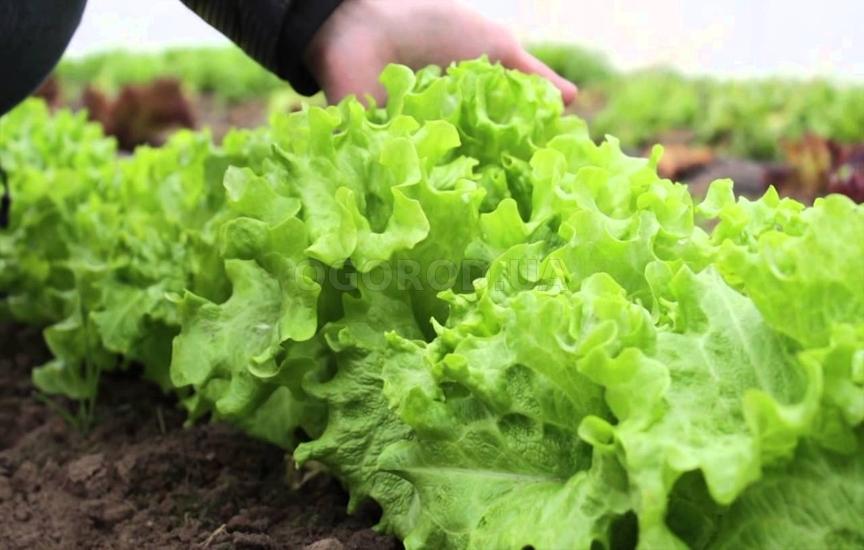 Когда садить салат в теплице