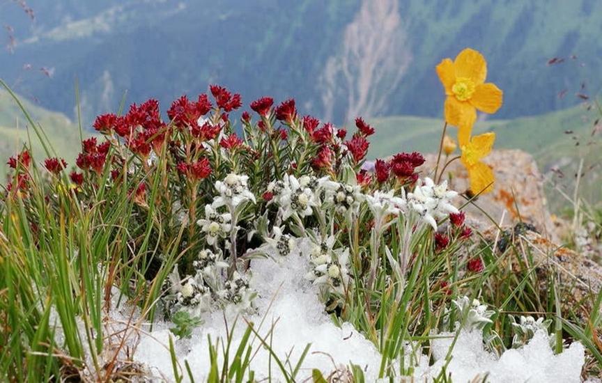 Уход за эдельвейсами и зимовка