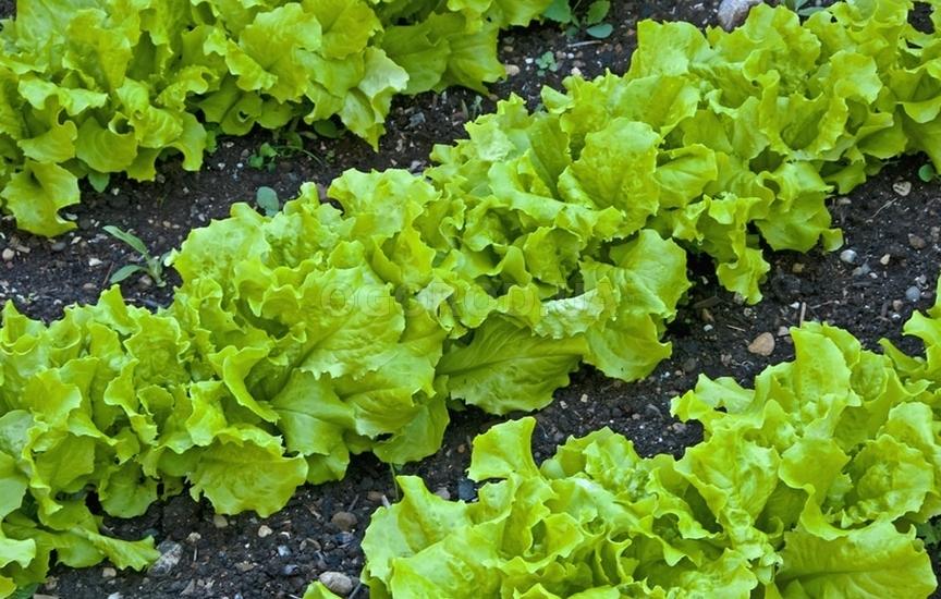 Выращивание салатов и их сорта 938