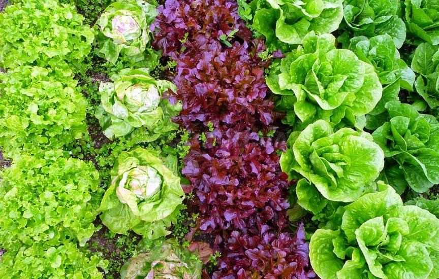 Выращивание салатов и их сорта 474