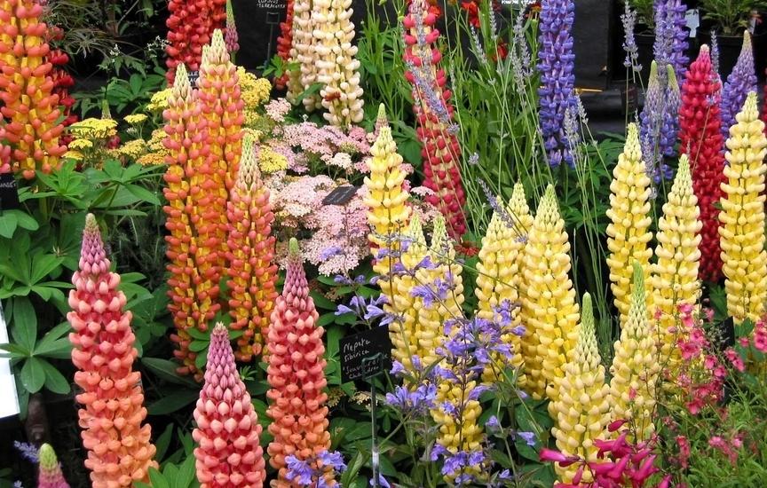 Люпин многолетний: выращивание из семян