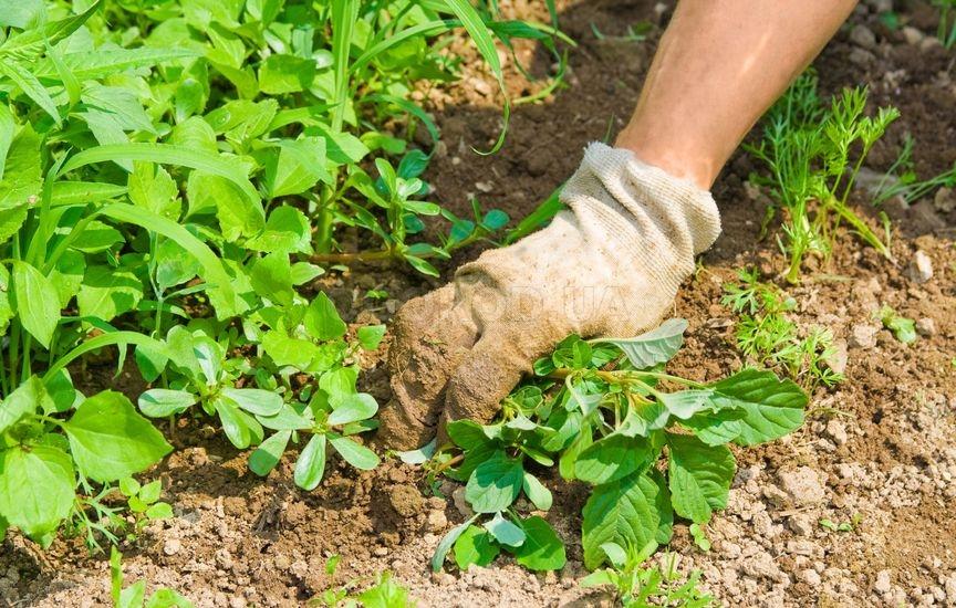 Не следует пытаться избавиться от зарослей сорняка при помощи тяпки