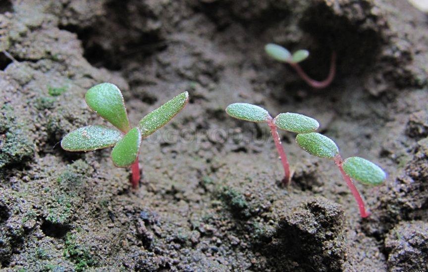Особенности роста сорняка на вашем участке