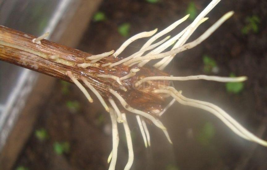 Натуральный биологический стимулятор образования корневой системы