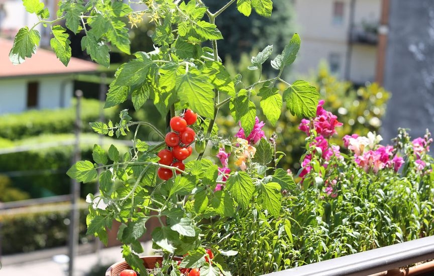 Томат Горшечный оранжевый: отзывы о помидорах, фото семян, описание и характеристика сорта