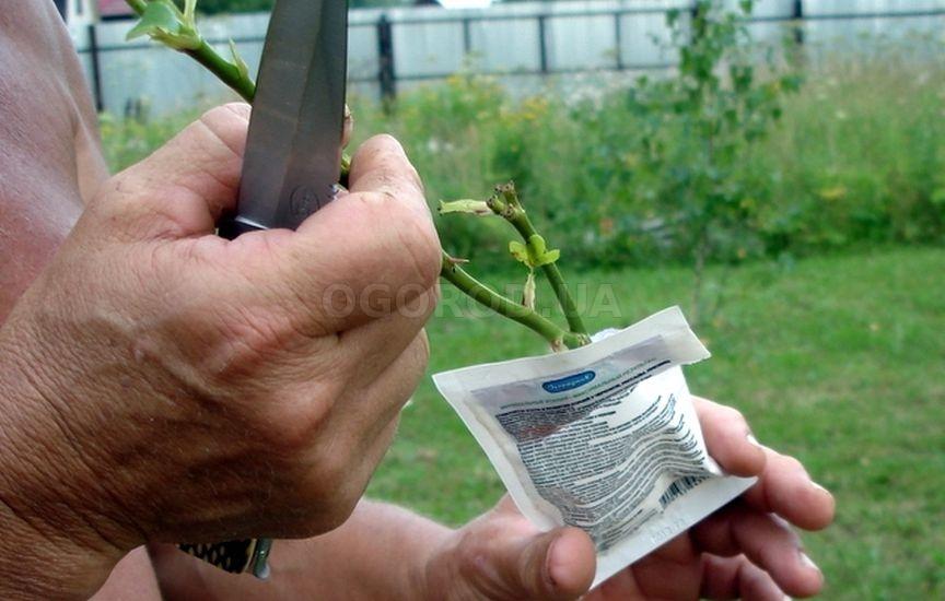 Как использовать корневин для роз