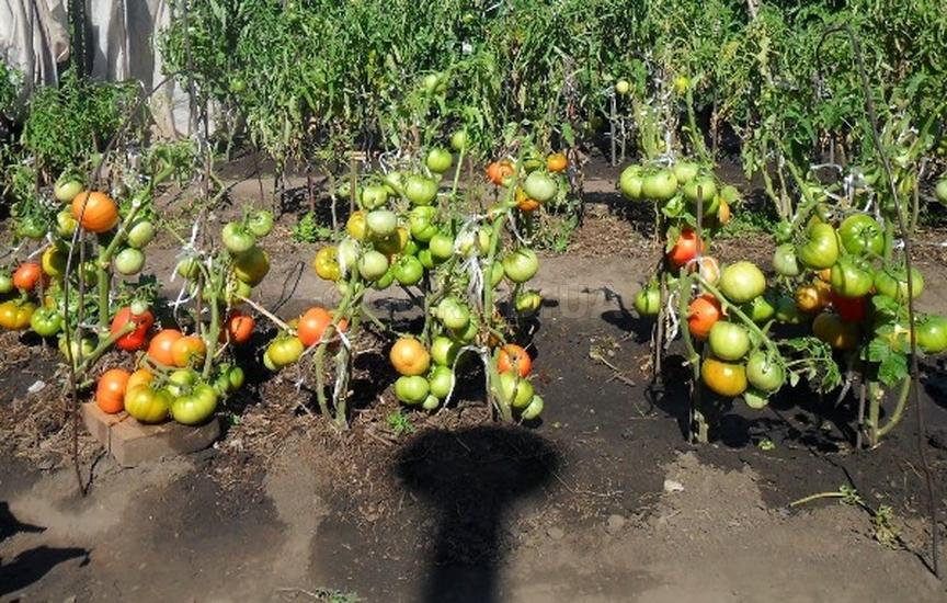 Суть выращивания помидоров по методу Маслова