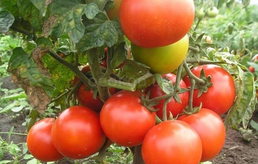 Посадка и выращивание помидоров по методу