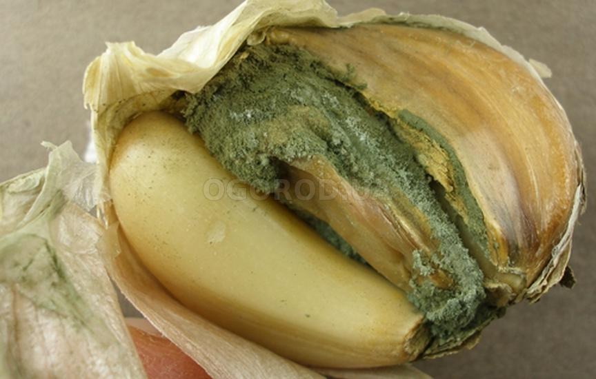 Зелёная плесень чеснока (пенициллёз)