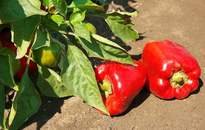 Особенности сбора урожая перца