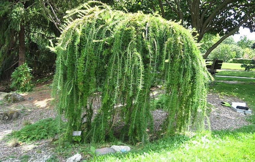 Узнаем, как вырастить лиственницу из семян в домашних условиях