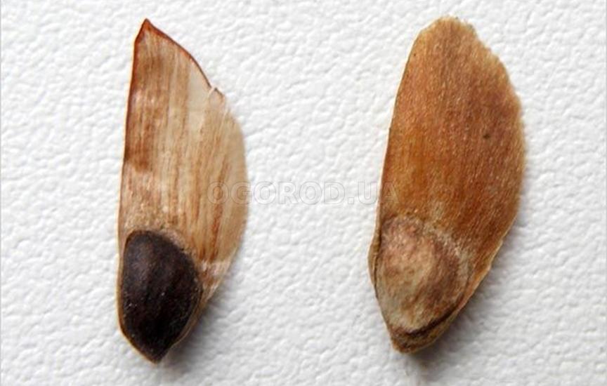 Высадку семян осуществляют в конце апреля — начале мая