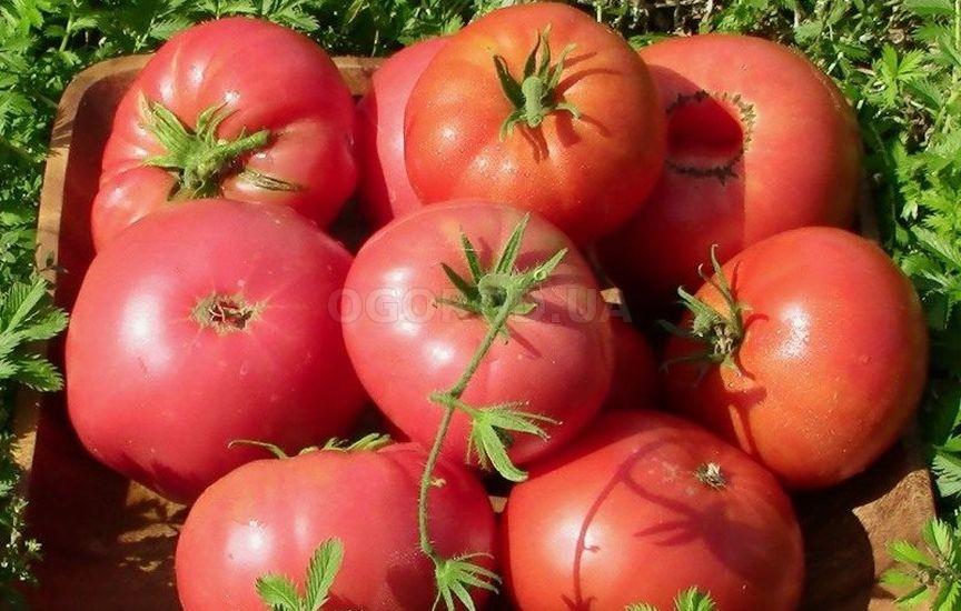 Томат сибирской селекции является теплолюбивым растением
