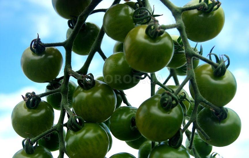 Лучшие сорта зеленых томатов: посадка и уход