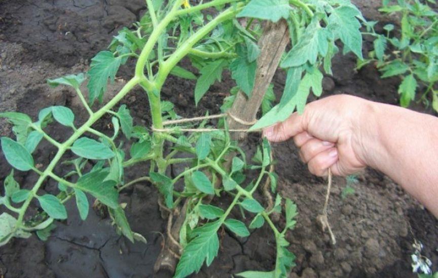 Для поддержания высокорослого растения используйте колышки