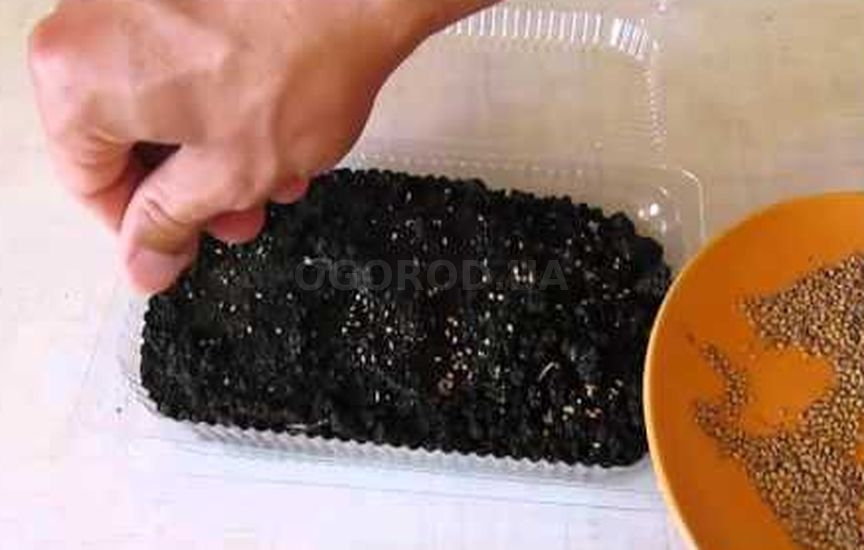 Посев семян шелковицы