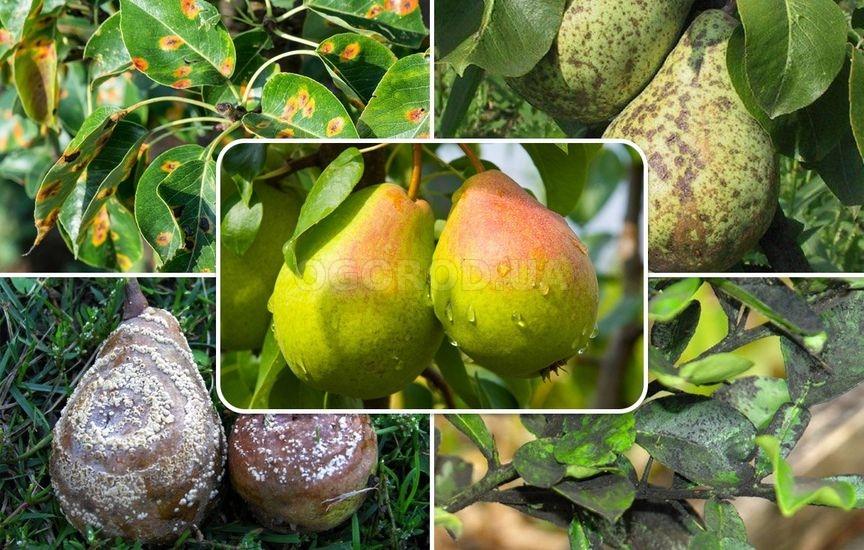 Признаки появления болезней и вредителей на груше