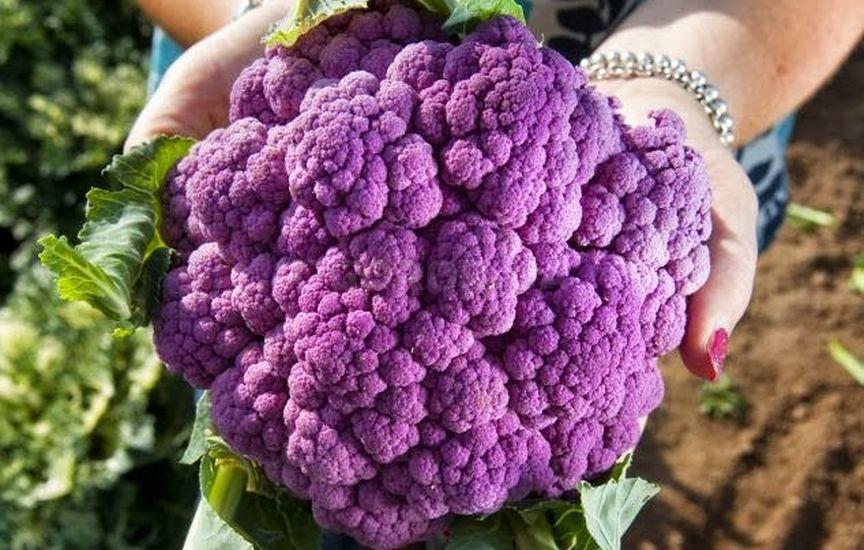 Полезные свойства фиолетовой цветной капусты