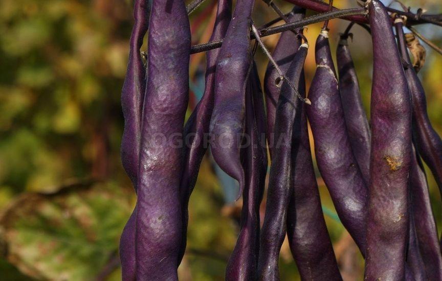 Темно-пурпурная спаржевая фасоль