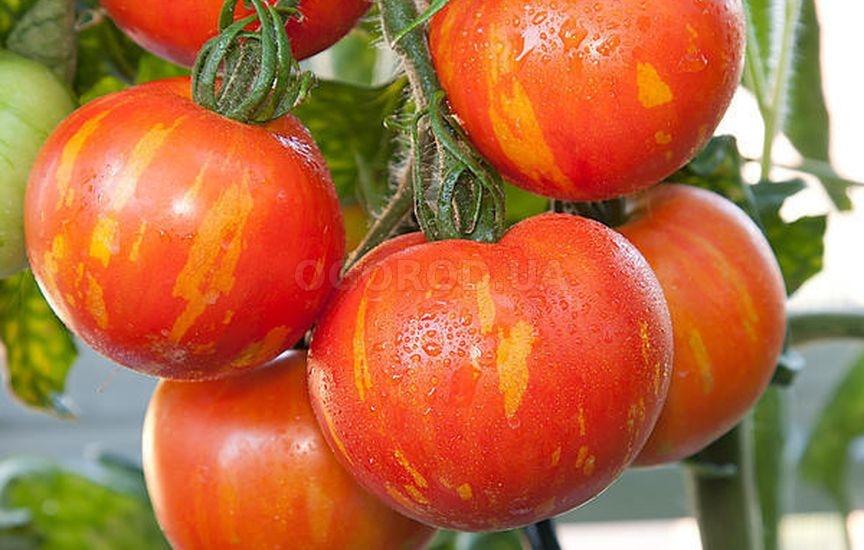 Лучшие сорта комнатных помидор: посадка и уход