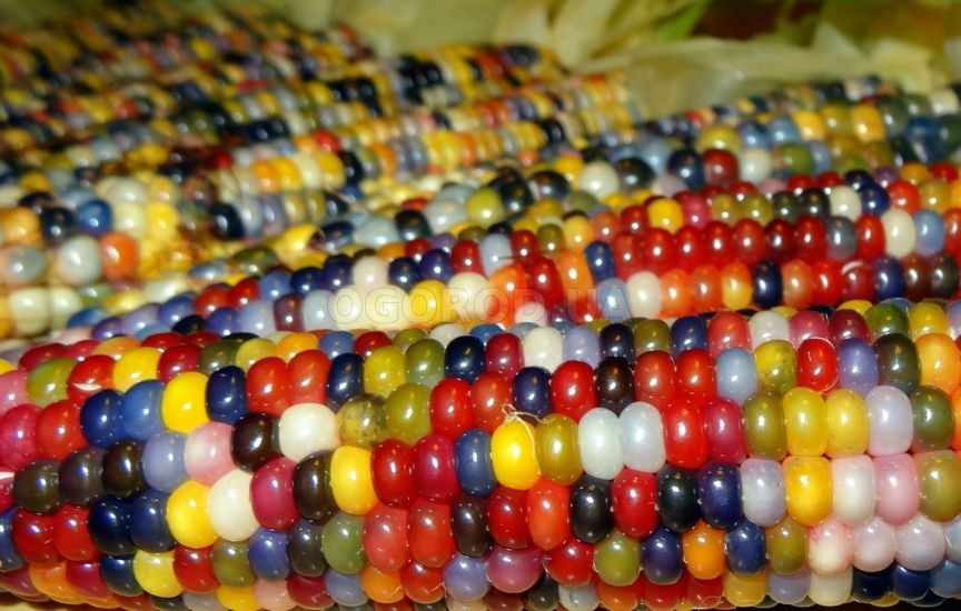 Фиолетовая или черная кукуруза