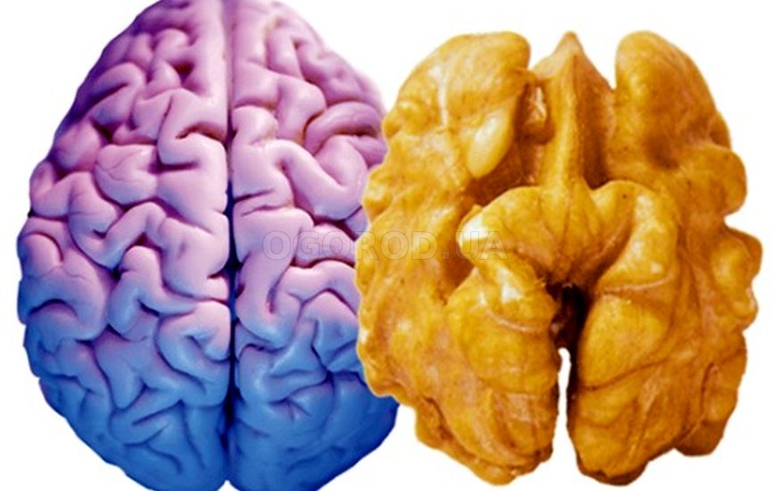 По форме ядро грецкого ореха напоминает полушария головного мозга