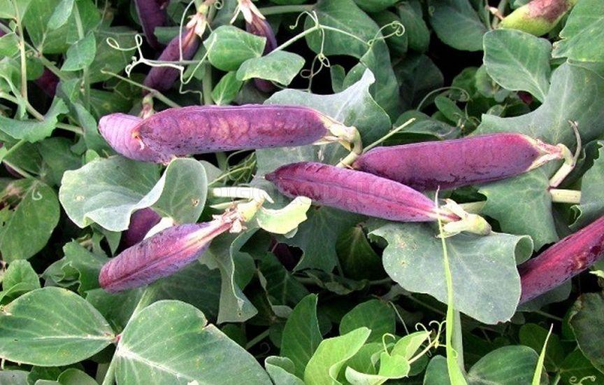 Фиолетовый горох