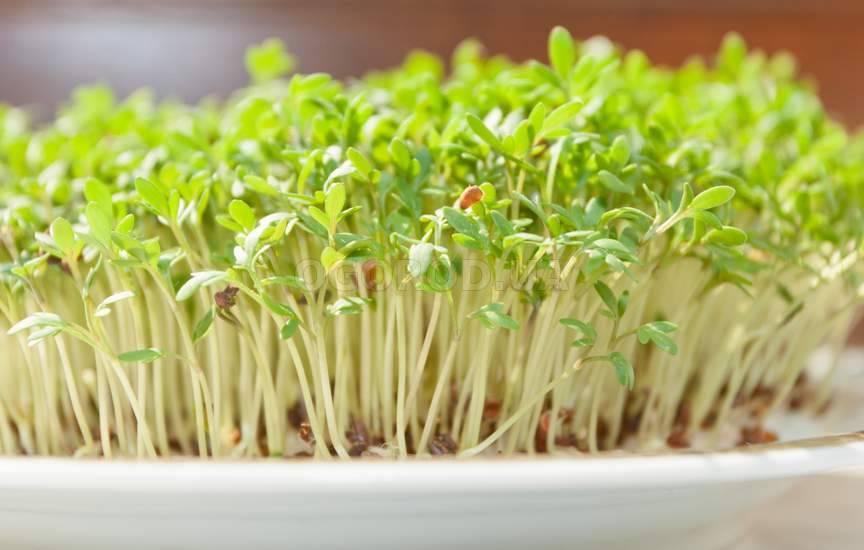 Кресс салат подоконнике