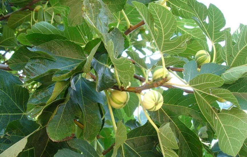 Инжир — винная ягода