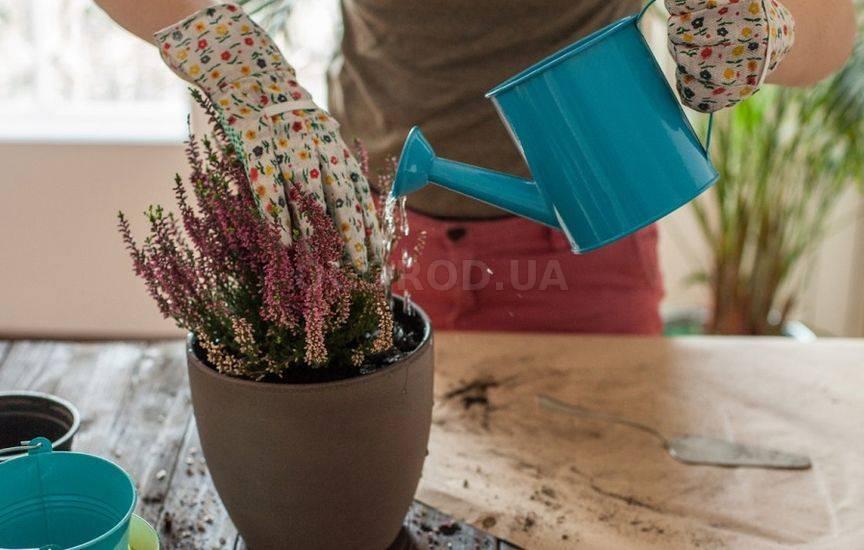 Подкормка комнатных растений раствором жидкого удобрения
