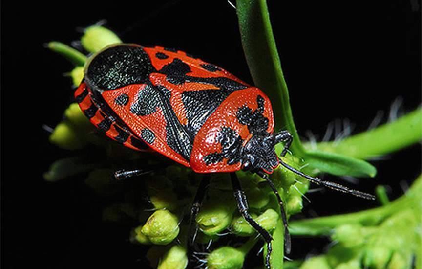 Клопы (лат. Heteroptera)