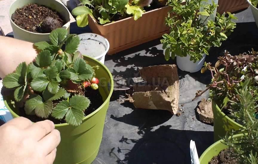 Клубника в горшках выращивание фото 45