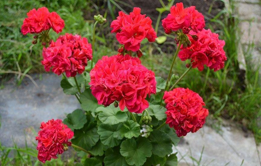Удобрение будет способствовать яркому и пышному цветению