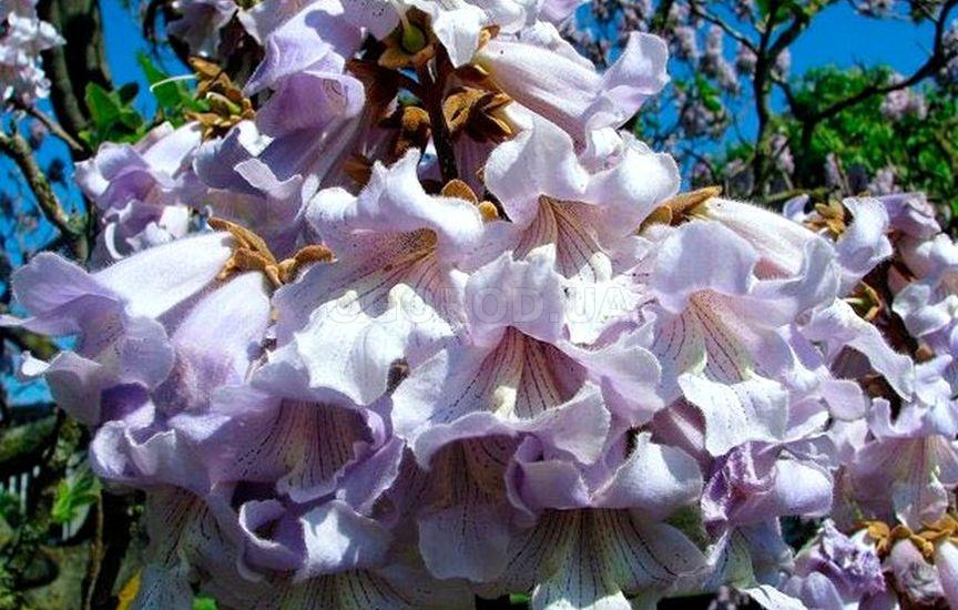 красота цветущего дерева не оставит никого равнодушным