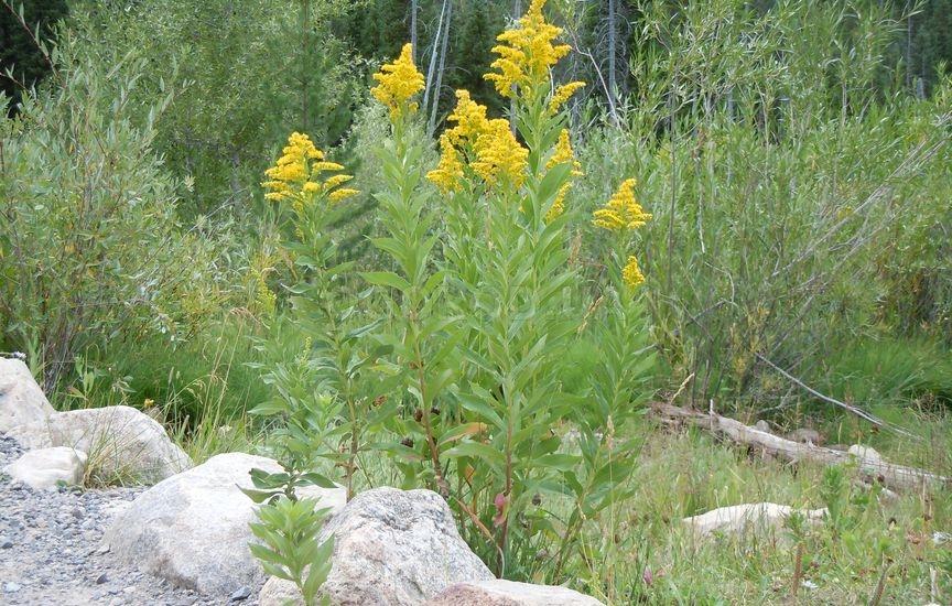 Растение золотарник – описание, фото