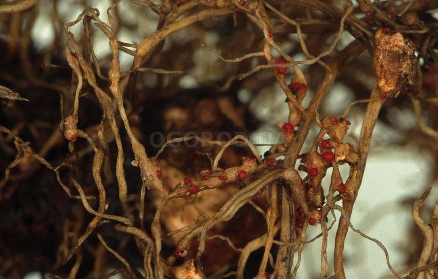 Нематоды или круглые черви (лат. Nematoda)