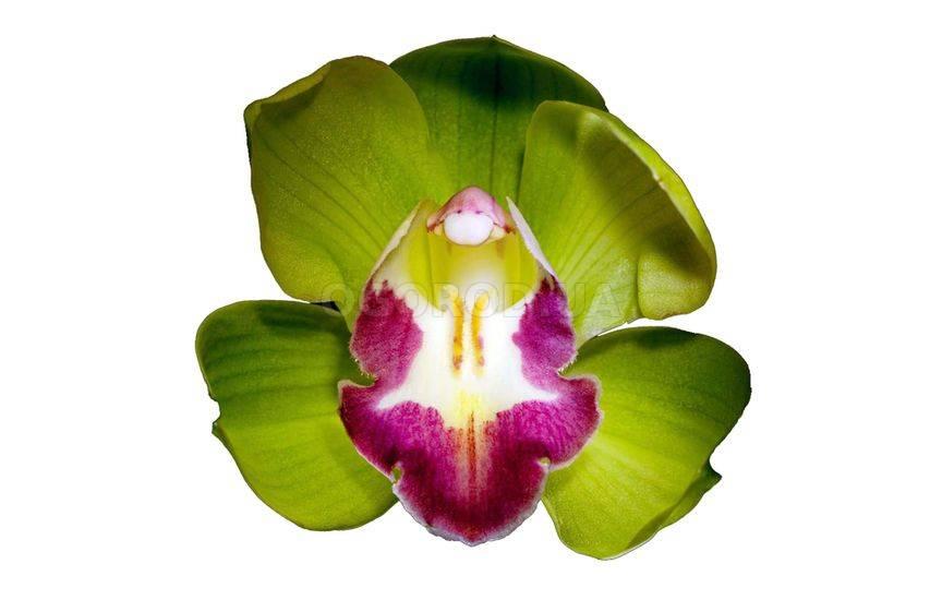 Орхидея «Шэньчжэнь Нонжк» (Shenzhen Nongke)