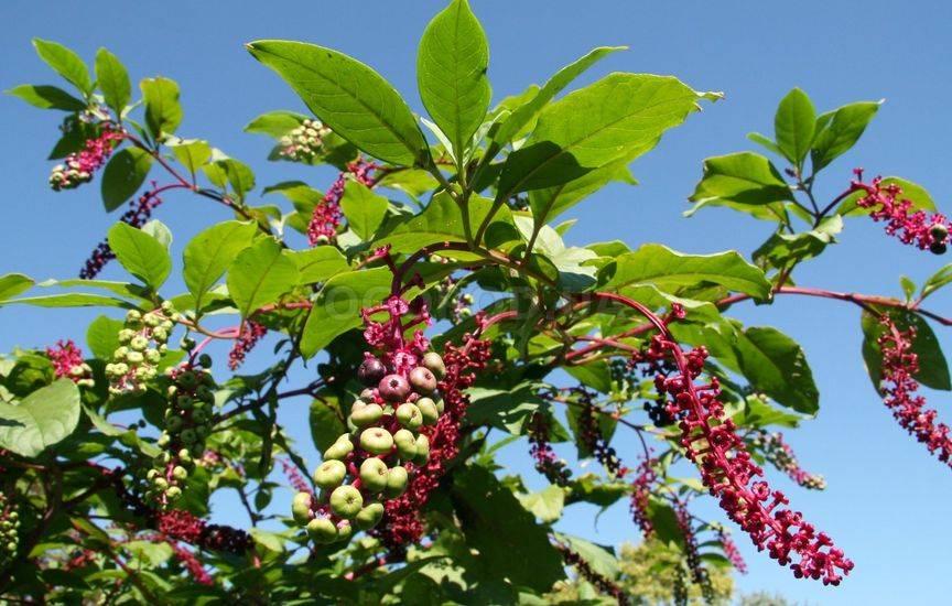 Лаконос – ягодный многолетник из разряда экзотов