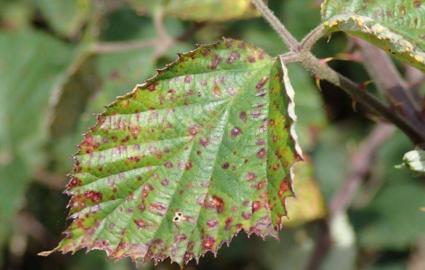 Ржавчина растений - признаки болезни и способы борьбы с ней