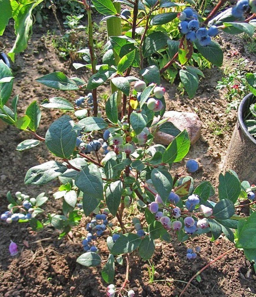 Выращивание черники в саду 44