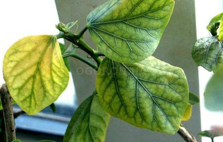 Хлороз листьев: виды, причины, методы устранения