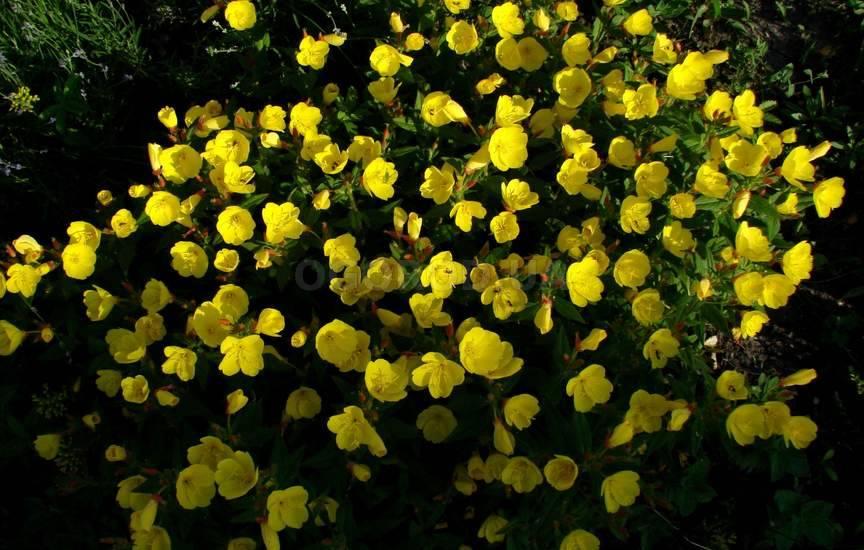 Энотера узнать о цветке и посмотреть