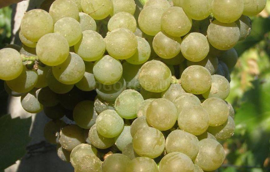 Виноград - морозостойкие, неукрывные сорта