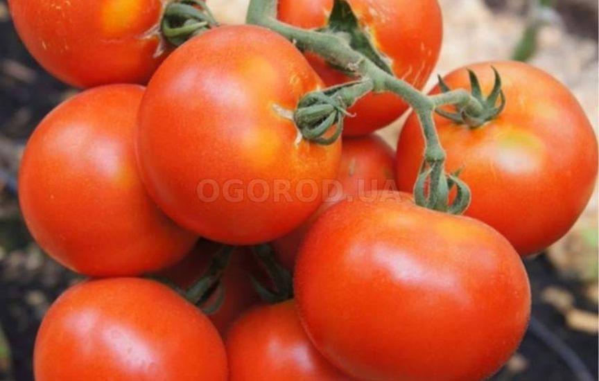Раннеспелые низкорослые томаты - самые урожайные сорта для отрытого гр