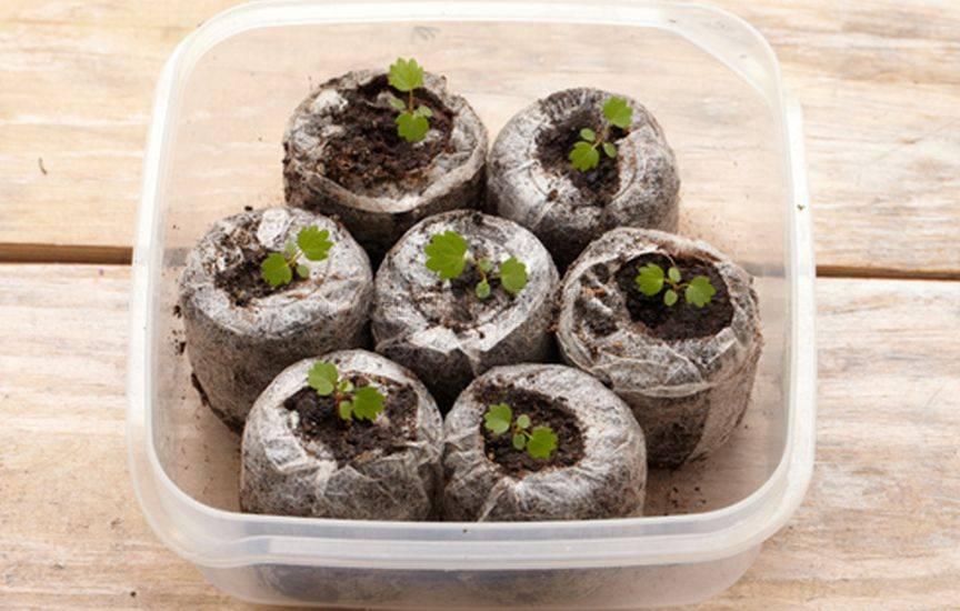 Как вырастить клубнику из семян домашних условиях