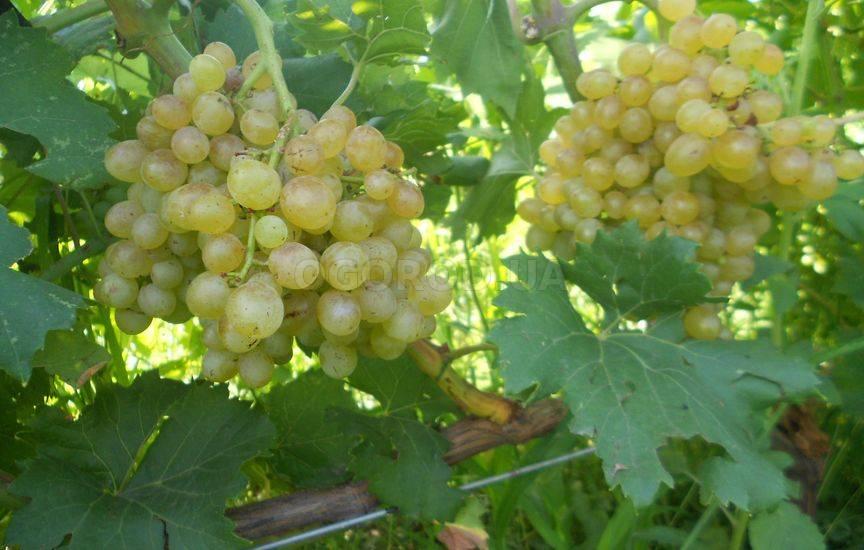Неукрывные сорта винограда для вина