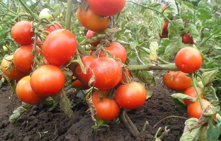Сорта помидоров для донецкой области