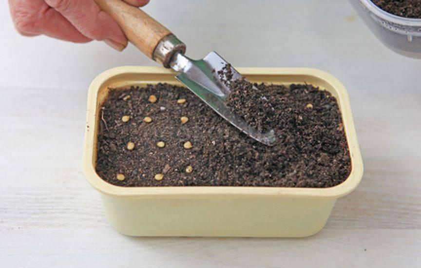 Как сеять перец на рассаду 828