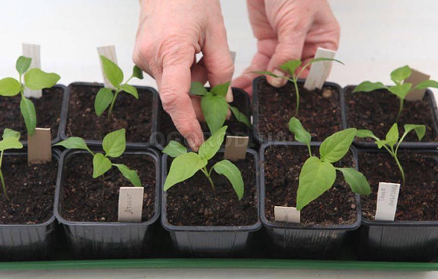 Когда и как выращивать рассаду перца в домашних условиях