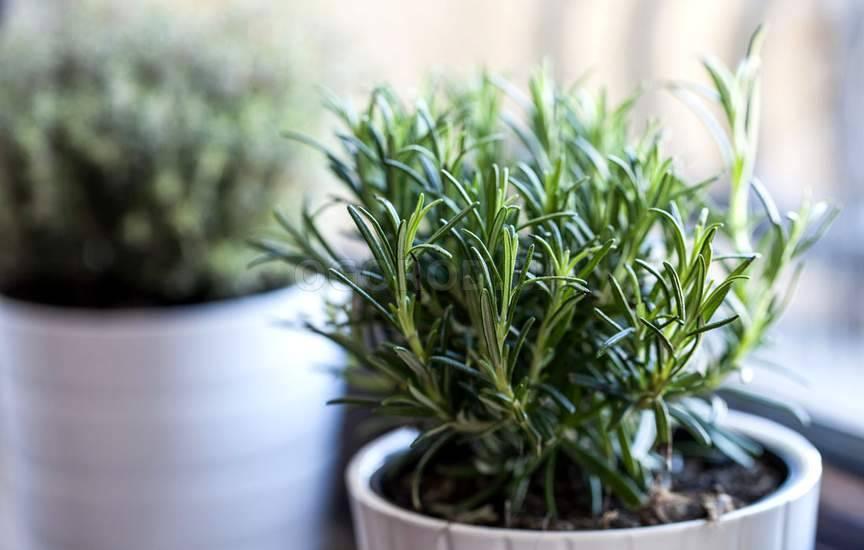 Сушить розмарин нужно отдельно от других ароматных трав, чтобы не смешивать запахи.